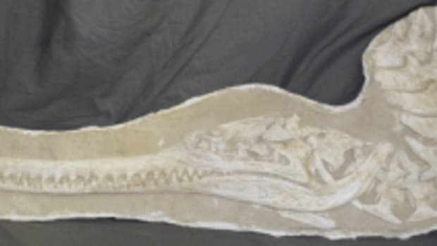 Crocodile fossil