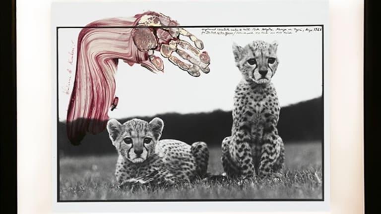 Orphaned Cheetahs Cubs