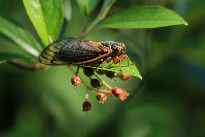 A newly molted Brood X cicada hangs out on a leaf.