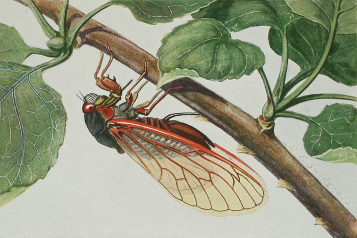 The sounds of cicadas inspired the ancient Greek poets.
