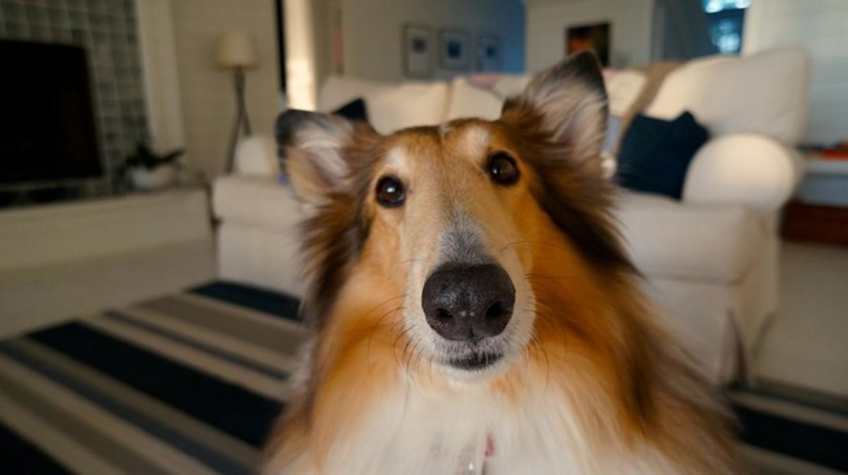 cute collie dog