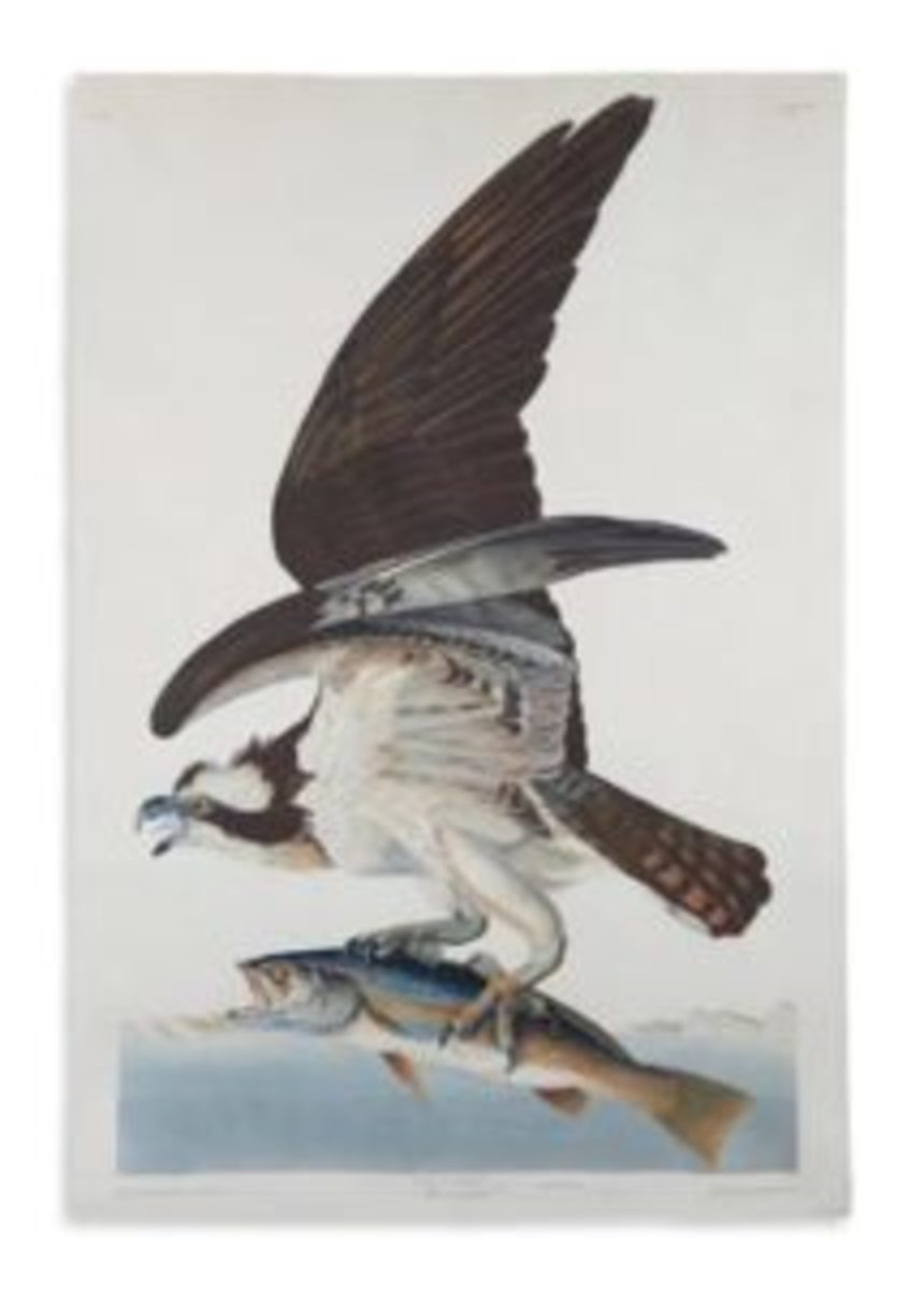 John James Audubon, Fish Hawk, Plate 81, hand-colored aquatint and engraved plate from Birds of America, London, 1830. Sold June 7, 2018 for $68,750. (Presale estimate $30,000-$50,000.)