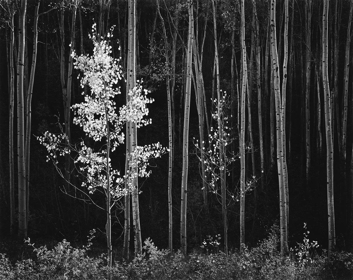 """Aspens, Northern New Mexico,"" a 1958 photograph by Ansel Adams. ""I made this photograph on a crisp autumn day in the mountains north of Santa Fe...near the crest of the Sangre de Cristo mountains,"" Adams said. ""I do not consider it a 'pretty' scene; for me it is cool and aloof and rather stately."""
