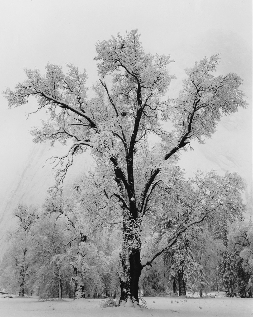 """Oak Tree, Snowstorm,"" a 1948 photograph by Ansel Adams, 16 x 12 inches."