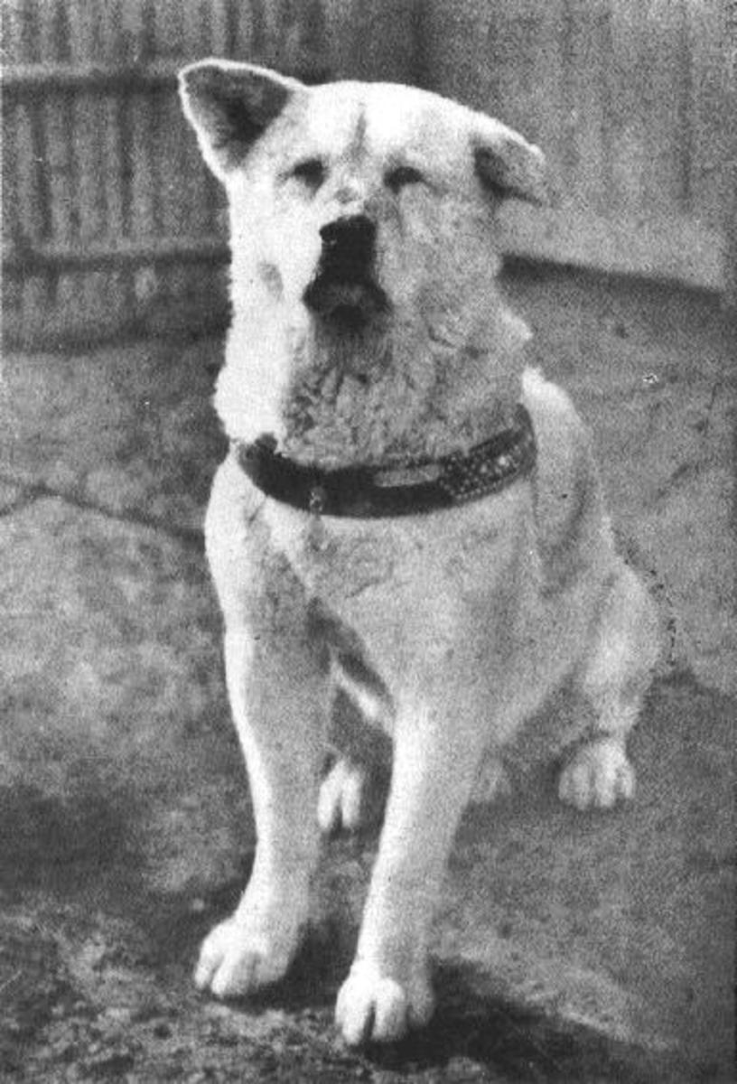 Hachikō, circa 1934.