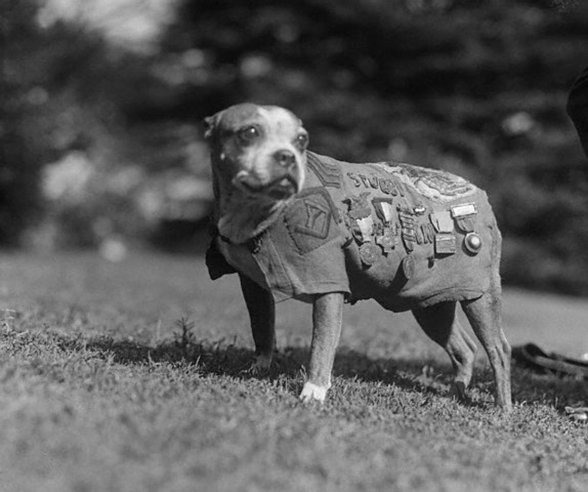 Sergeant Stubby wearing military uniform and decorations, circa 1920.