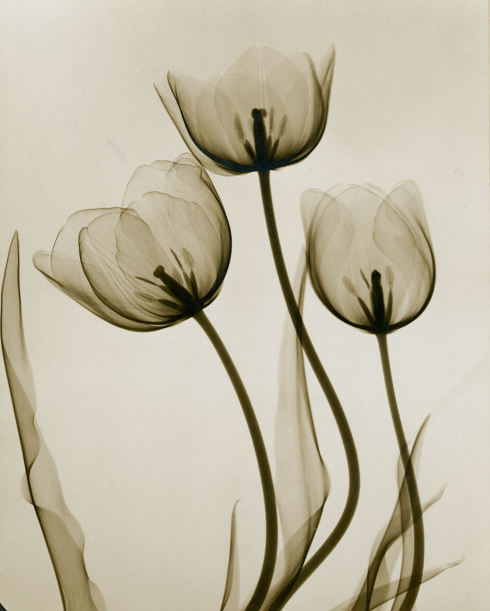 """""""Tulips,"""" c. 1930, gelatin silver X-ray, 11-3/8"""" x 9-3/8"""", part of a lot that also included a lily and strelitzia (bird of paradise), $30,000."""