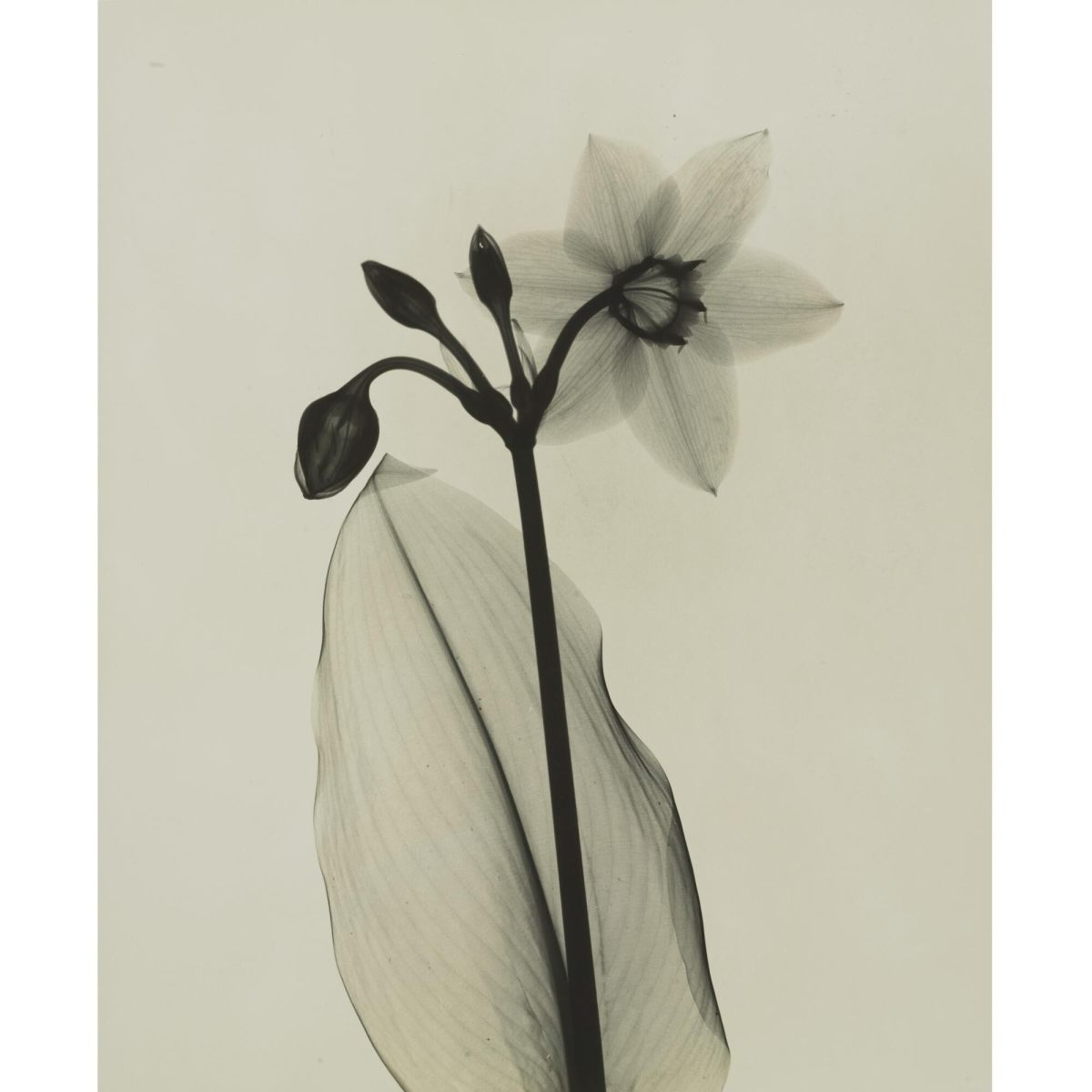 "Dr. Dain Tasker's ""Amazon Lily,"" circa 1930, 11-1/8"" x 9-1/8"", $6,250."