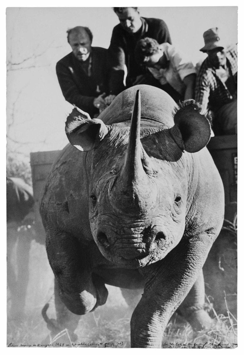 Peter Beard Rhino roping