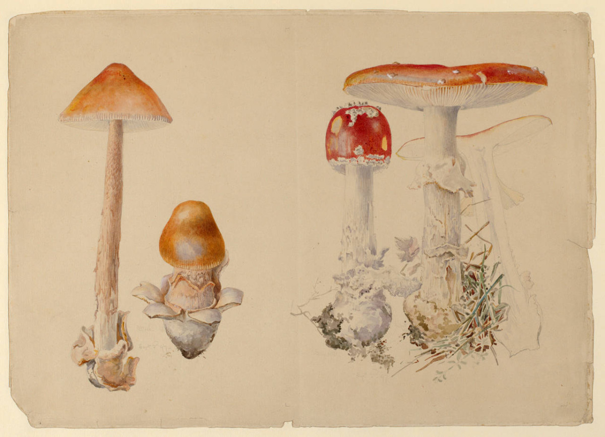 A watercolor and pen and ink over pencil by Beatrix Potter, 1897, of fungi: Yellow Grisette (Amanita Crocea) and Scarlet Fly Cap (Amanita Muscaria).