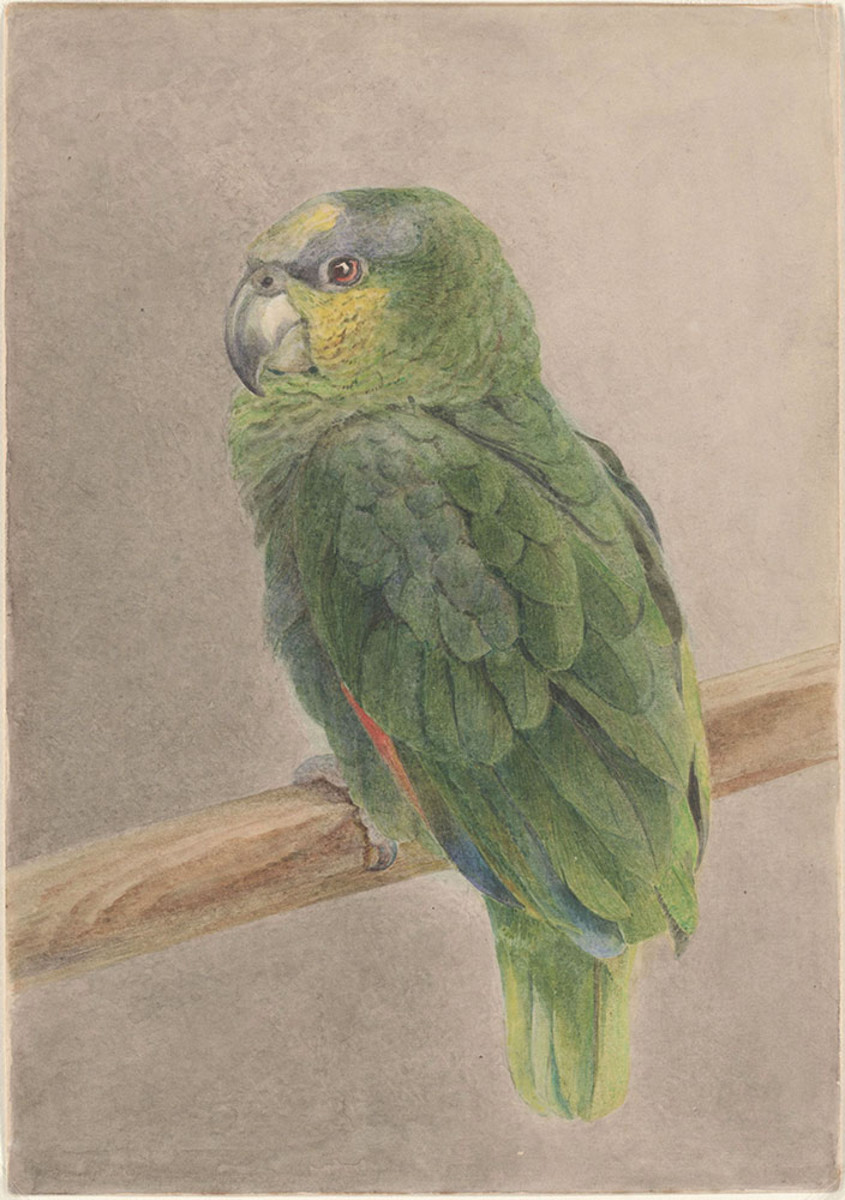 Potter's watercolor of a parrot.