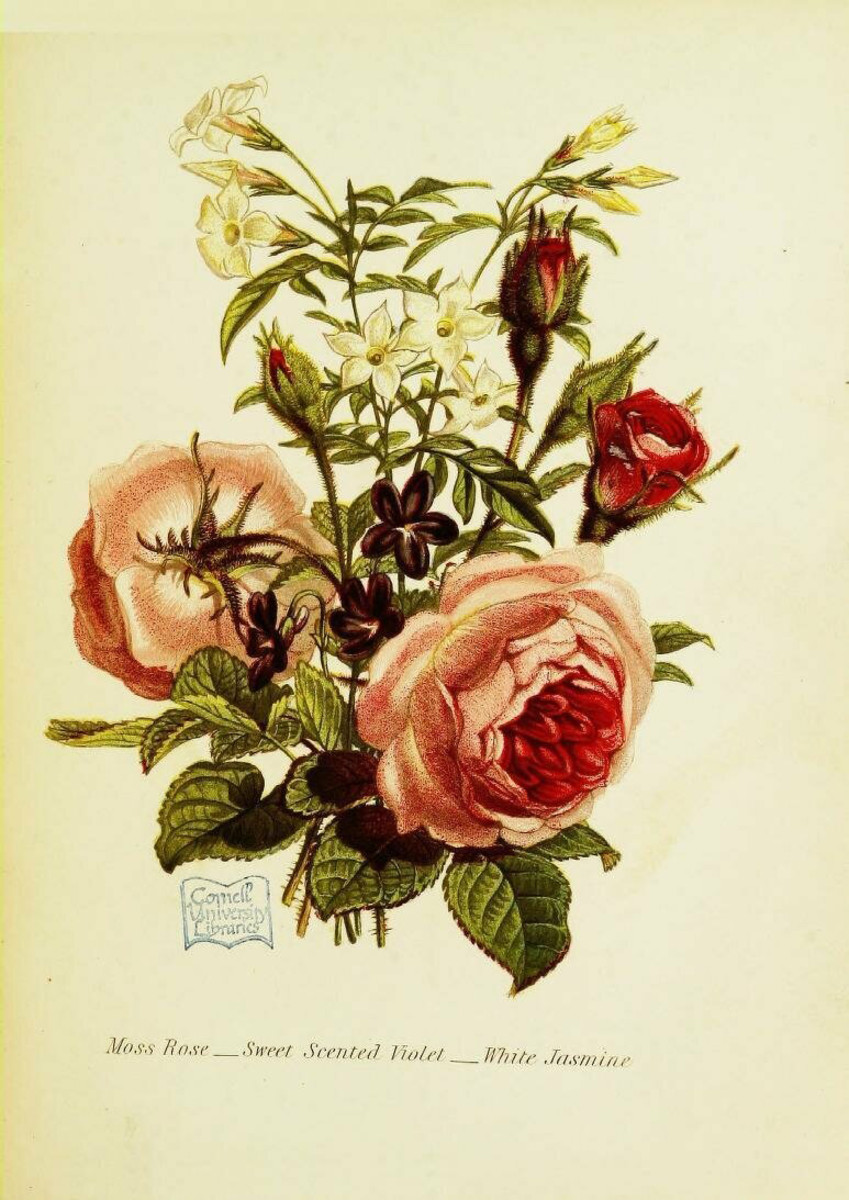 """An illustration from Robert Tyas' The language of flowers:  or, Floral emblems of thoughts, feelings, and sentiments (1869). This bouquet of moss rose, sweet scented violet and white jasmine suggests """"your modesty and amiability inspire me  with the warmest affection."""""""